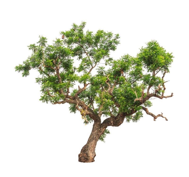 Neem växt (den indica azadirachtaen), tropiskt träd arkivbilder