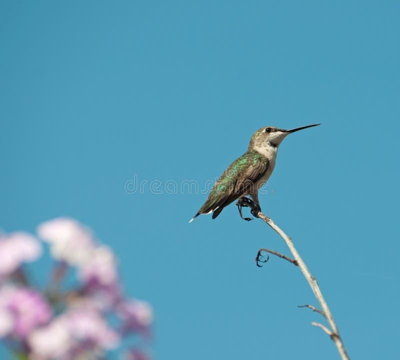 Neergestreken kolibrie. royalty-vrije stock fotografie