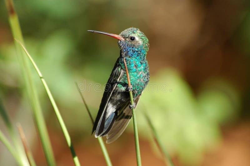 Download Neergestreken kolibrie stock afbeelding. Afbeelding bestaande uit groen - 278367