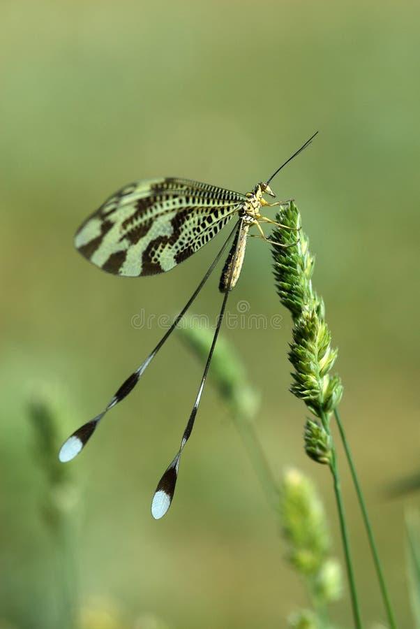 Neergestreken Nemoptera royalty-vrije stock afbeelding