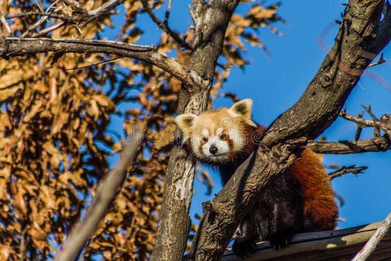 Neergestreken Rode Panda stock foto's