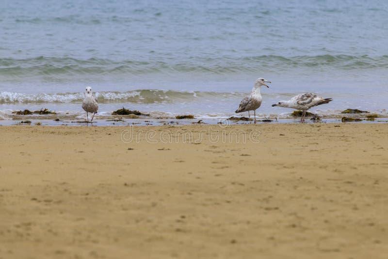 Negación del Laridae de las gaviotas en una playa europea fotografía de archivo