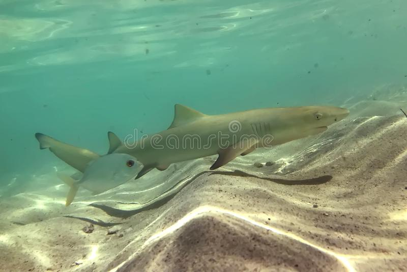 The negaprion brevirostris lemon shark cub. Is swimming in shallow water to avoid predators until he`s three years old.Petite terre, Guadeloupe, french west stock photo