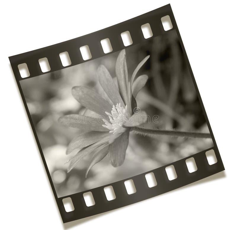 Negativa de la flor de Filmstrip imagen de archivo
