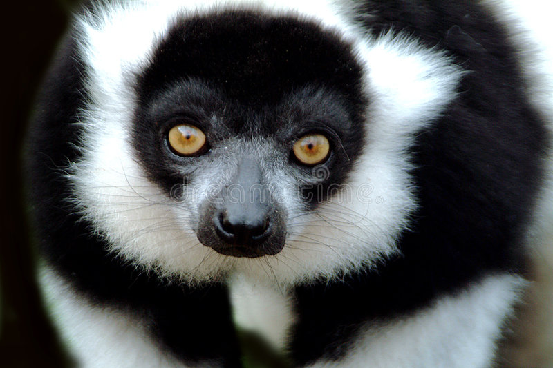 Download The negative stock photo. Image of close, prosimian, endangered - 28314