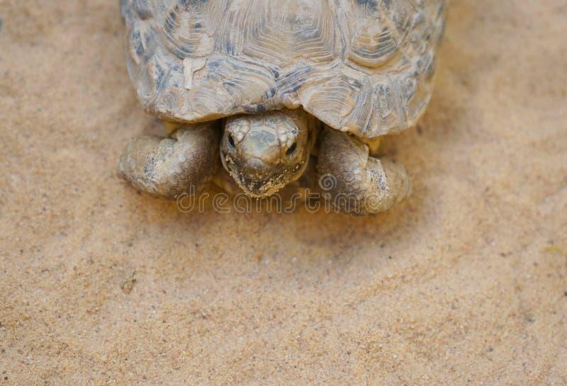 Negev desert tortoise. Testudo werneri, selective focus on his face royalty free stock photo