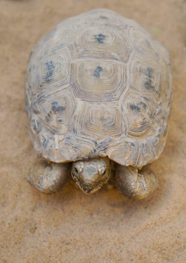 Negev desert tortoise. Testudo werneri, selective focus on his face stock image