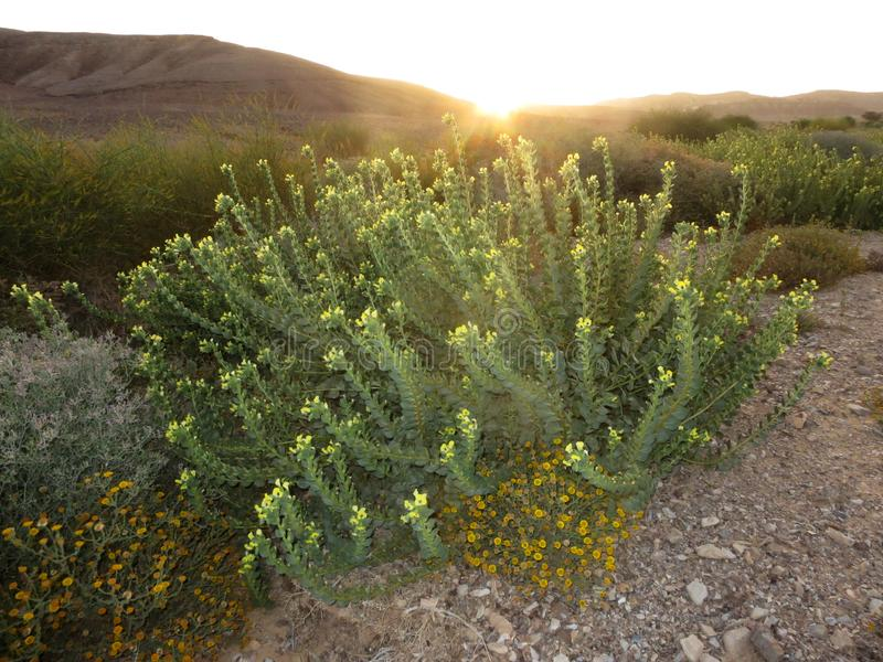 Negev woestijn in bloei; Negev desert in bloom; Israel. Negev woestijn in bloei; Negev desert in bloom; Ovda Valley, Israel stock photos