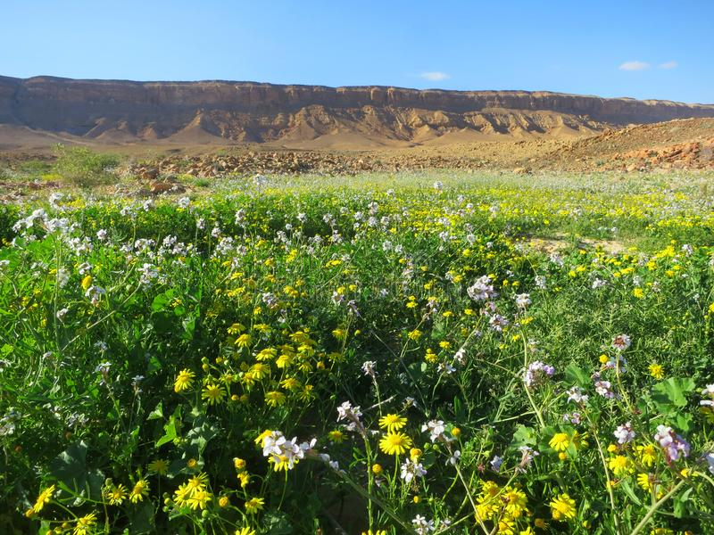 Negev woestijn in bloei; Negev desert in bloom; Mitzpe Ramon crater; Israel royalty free stock photography