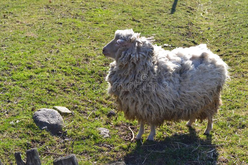 Neglected sheep on grass in spring. Rural scenery. Farm animals royalty free stock photo