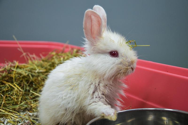 Neglected and sick young rabbit with upper respiratory infection at a veterinary clinic stock images