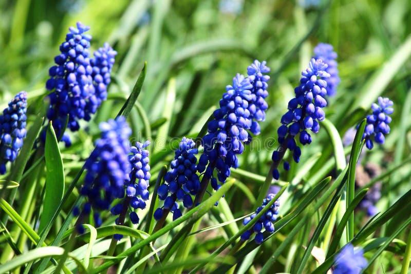 Neglectum do Muscari das flores do jacinto de uva fotos de stock royalty free