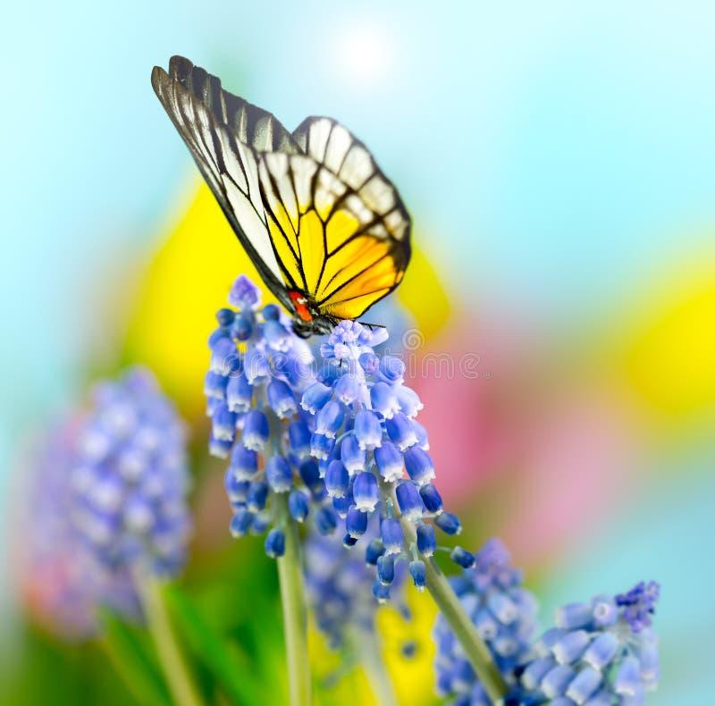 Neglectum y mariposa del Muscari fotografía de archivo