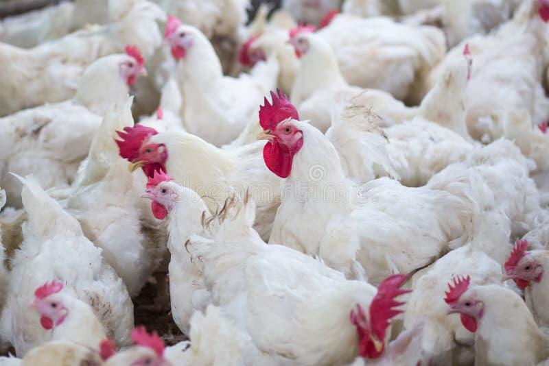 Negocio de la granja avícola con el fin de cultivar la carne fotos de archivo