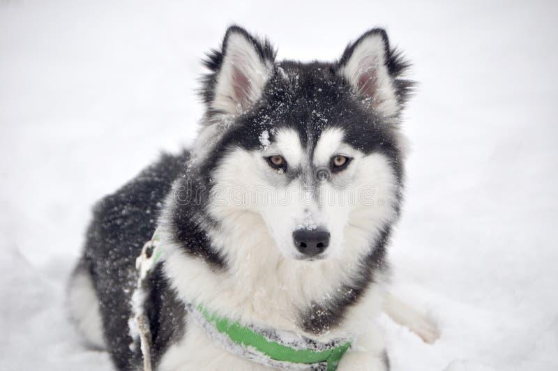 Negro blanco del perro del invierno del husky siberiano imagen de archivo