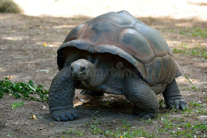 Negro de Chelonoidis da tartaruga gigante de Galápagos imagens de stock