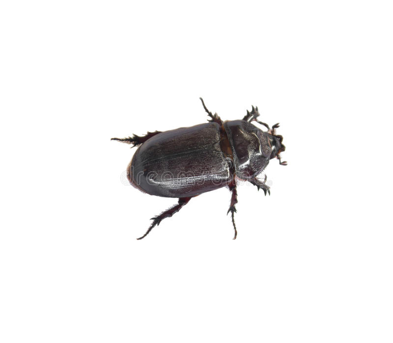Negro de Dung Beetle imágenes de archivo libres de regalías