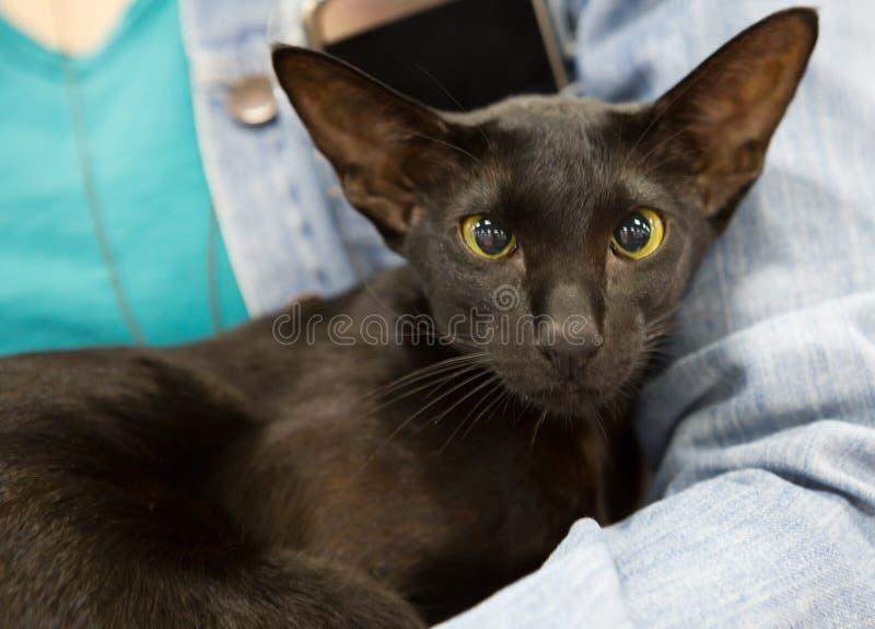 Negro del color del pelo de Cat Oriental Short fotografía de archivo