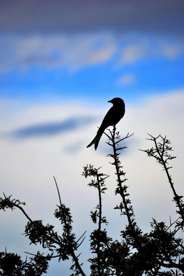 Negro del pájaro - colas del cielo de la rama del pájaro foto de archivo libre de regalías