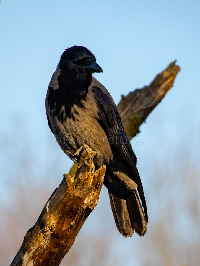 Negro del primer y cuervo marrón en árbol fotografía de archivo libre de regalías