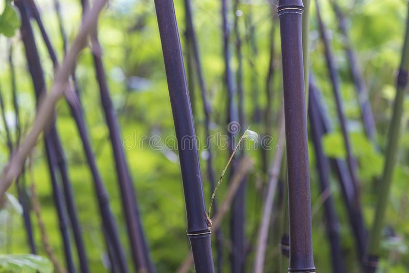 Negro do bambu preto ou do phyllostachys fotos de stock royalty free