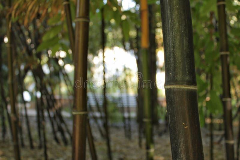 Negro do Phyllostachys, bambu preto no jardim, Valência fotografia de stock royalty free