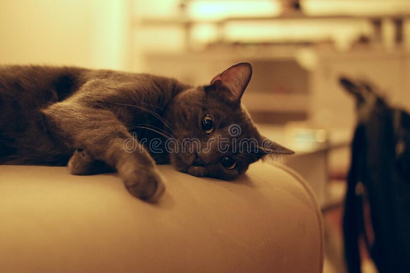 Negro y Grey Short Coat Medium Cat foto de archivo