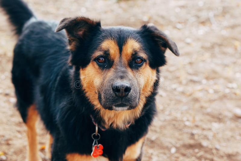 Negro y retrato del perro del oro imagenes de archivo