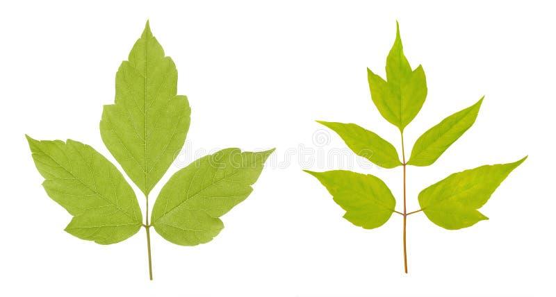 Negundo Acer ή αμερικανικά φύλλα σφενδάμου που απομονώνεται στο άσπρο υπόβαθρο στοκ φωτογραφίες