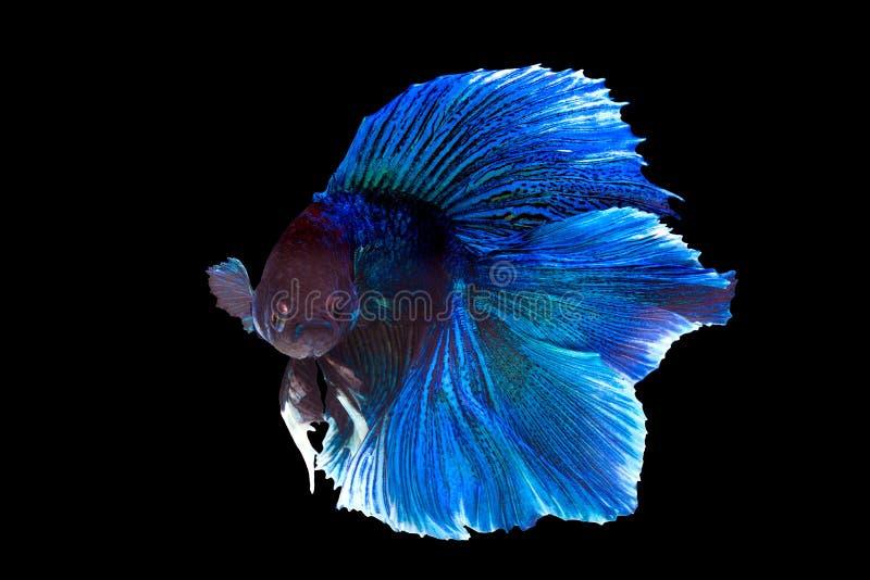 Nehmen Sie den beweglichen Moment von Purpurrotem und von Cerulean siamesisch gefangen stockbild
