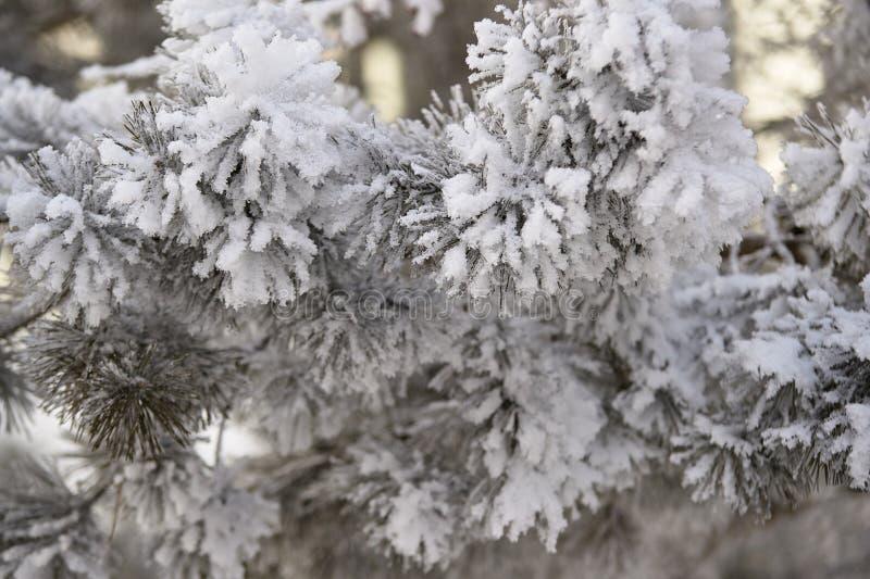 Neige blanche légère Les branches se parent Pointeaux verts photo libre de droits