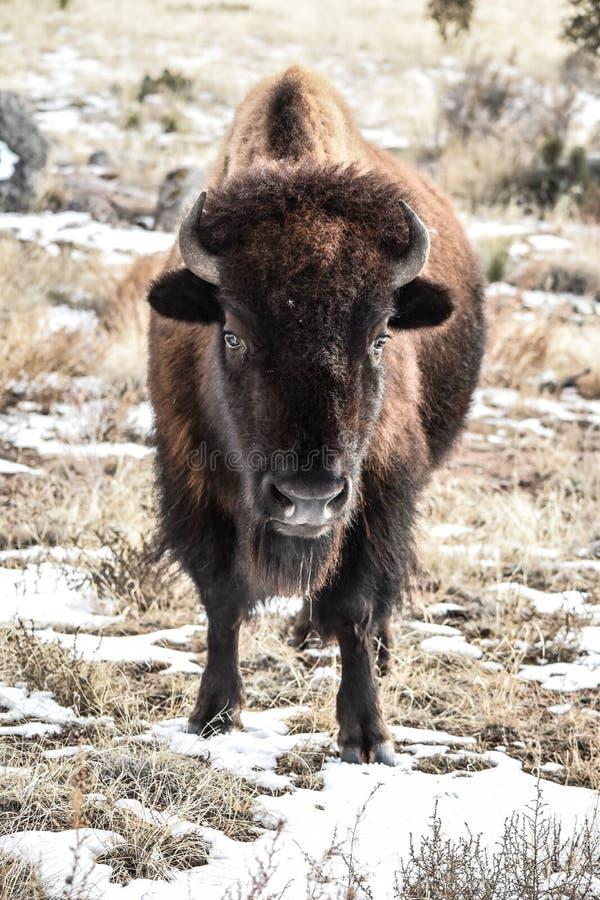 Neige d'hiver de bison images libres de droits