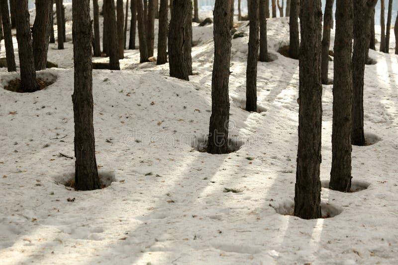 Neige dans une forêt de pin au printemps photo stock