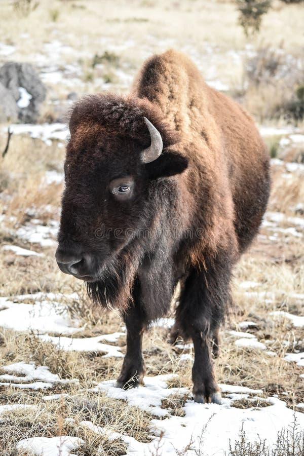 Neige de Bison Buffalo images stock