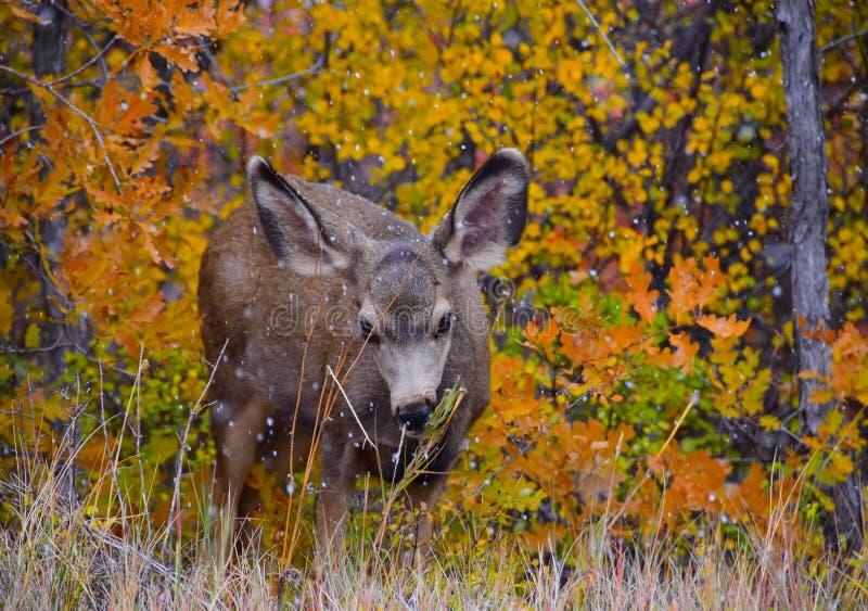 Neige de cerfs communs et couleurs d'automne photographie stock libre de droits