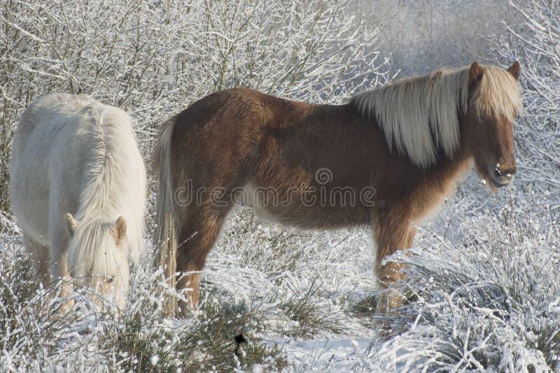 Neige de chevaux photo libre de droits