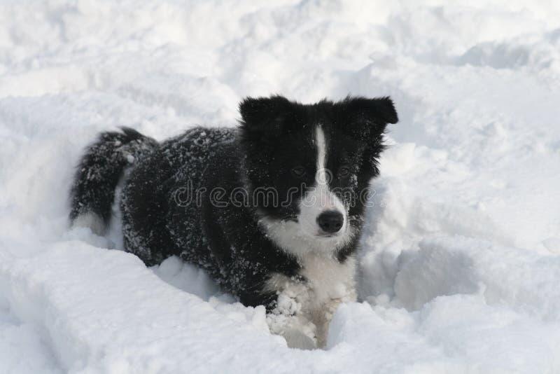 neige de chiot de colley de cadre photographie stock