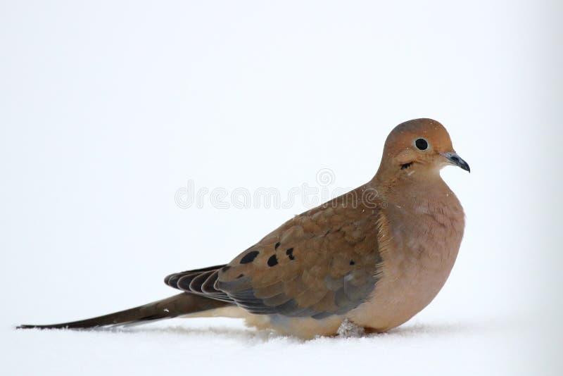 neige de deuil de colombe images stock