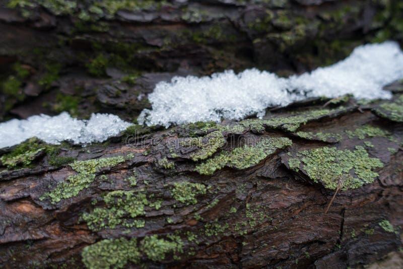 Neige de fonte dans l'écorce d'arbre humide photographie stock