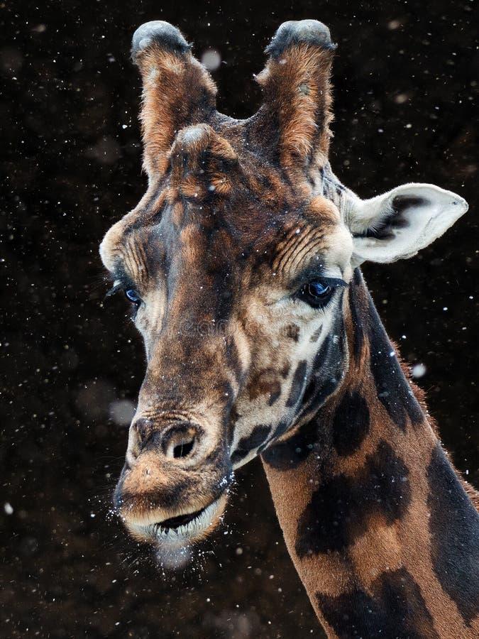 Neige de girafe images libres de droits