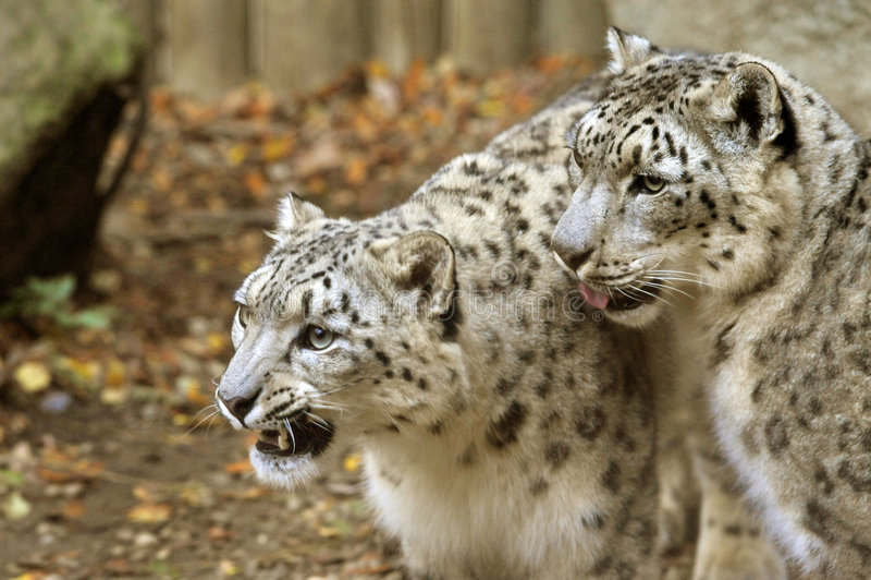 neige de léopards image libre de droits