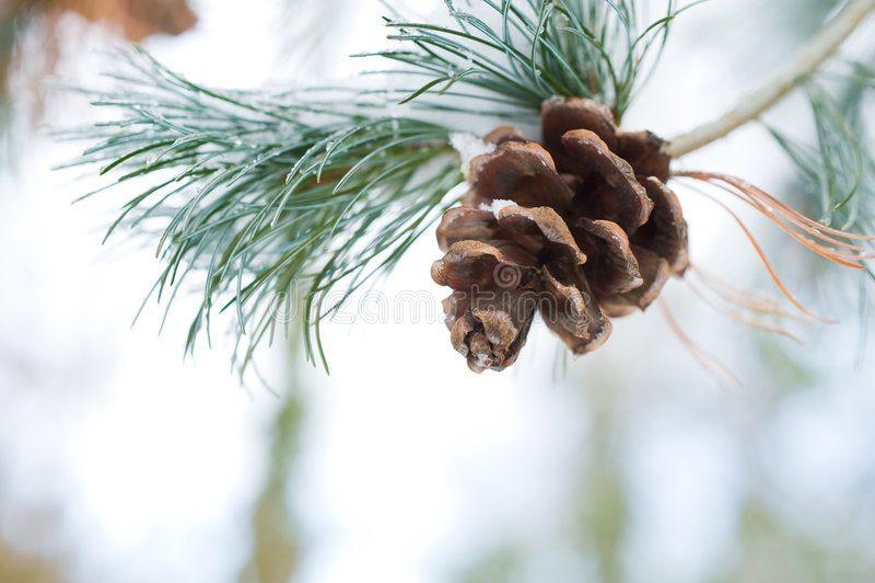 neige de pin de cône de branchement photo libre de droits