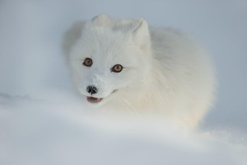 neige de renard arctique photos libres de droits