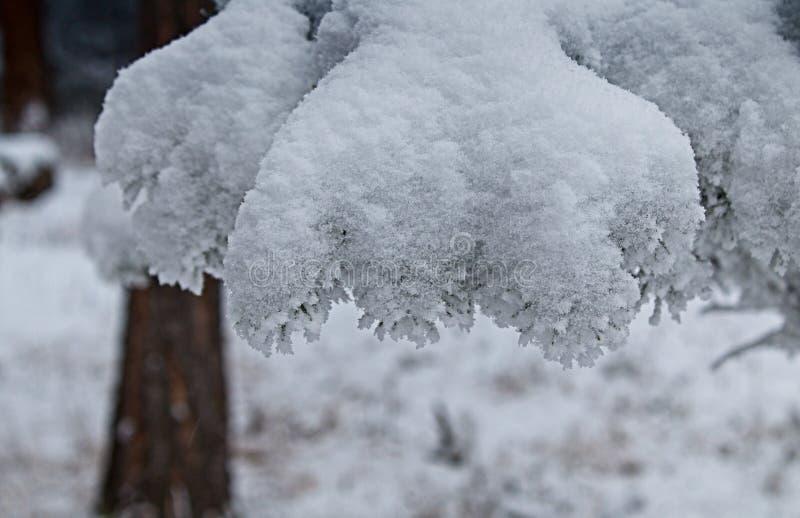 Neige de ressort lourde sur les épaules d'une branche photos stock