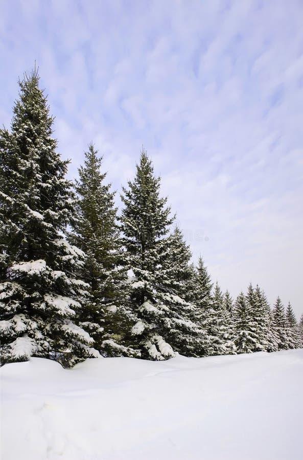neige de sapin photographie stock libre de droits
