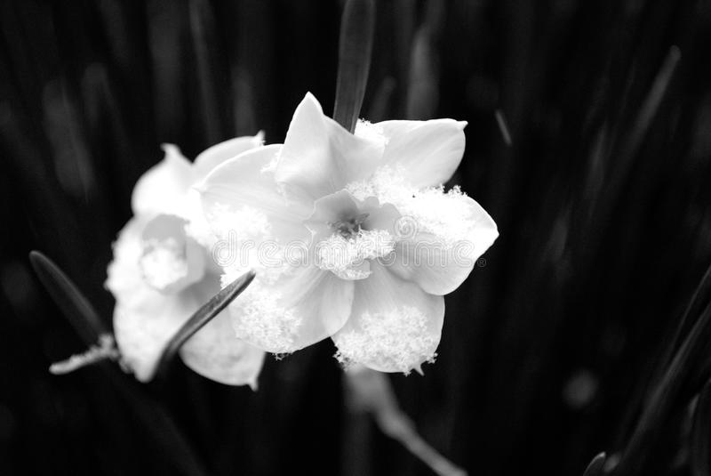 Neige en retard tombant sur les fleurs tôt de ressort images libres de droits