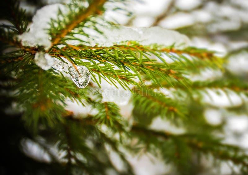 Neige et glace sur la branche d'arbre de sapin images stock