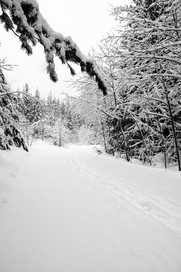 Neige fraîche de poudre sur la traînée par la forêt mélangée photos libres de droits