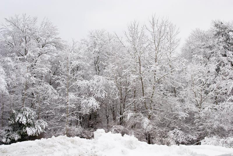 Neige fraîche sur des arbres photo libre de droits