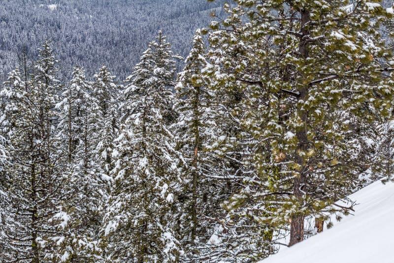 Neige fraîche sur les arbres coniféres, Okanagan, AVANT JÉSUS CHRIST photographie stock libre de droits